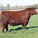 GENEX domina ranking de registros do Red Angus